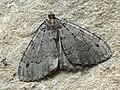 Triphosa dubitata - The Tissue - Пяденица сомнительная (26087570787).jpg