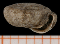 Trissexodon constrictus shell.png