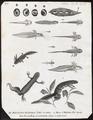 Triton cristatus - levenscyclus - 1700-1880 - Print - Iconographia Zoologica - Special Collections University of Amsterdam - UBA01 IZ11400103.tif