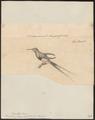 Trochilus langsdorffii - 1700-1880 - Print - Iconographia Zoologica - Special Collections University of Amsterdam - UBA01 IZ19100421.tif