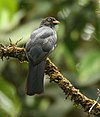 Trogon clathratus - (female) -Costa Rica-6