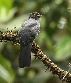 Trogon clathratus - (female) -Costa Rica-6.jpg