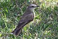 Tropical Kingbird - Flickr - GregTheBusker (6).jpg