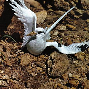 Tropicbird - A white-tailed tropicbird in the Seychelles