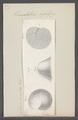 Truncatulina refulgens - - Print - Iconographia Zoologica - Special Collections University of Amsterdam - UBAINV0274 113 04 0007.tif
