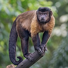 Tufted capuchin on a branch in Singapore.jpg