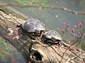 Turtles along the Ohio Canal.jpg