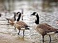 Two ducks - panoramio (1).jpg