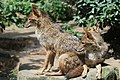 Two golden jackal (29082065737).jpg