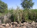 Typha domingensis habit7 MM NWP - Flickr - Macleay Grass Man.jpg