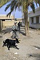 U.S. Army soldier and his dog search for explosives to secure polling sites for the upcoming Diyala provincial elections in Baqubah, Iraq.jpg
