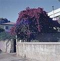 Uitbundig bloeiende boom in een ommuurde tuin, Bestanddeelnr 255-9377.jpg