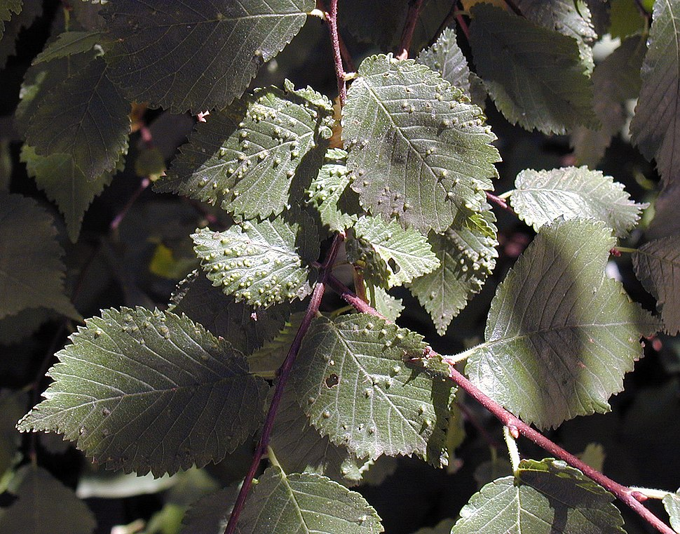 Ulmus-minor---Eriophyes-ulmicola-agallas