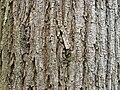 Ulmus glabra Wych Elm bark.jpg