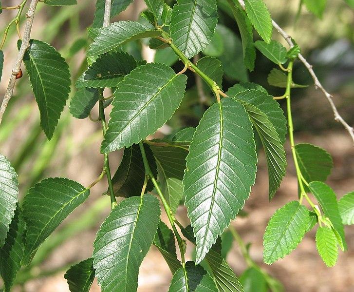 detail des feuilles de 'orme de Sibérie