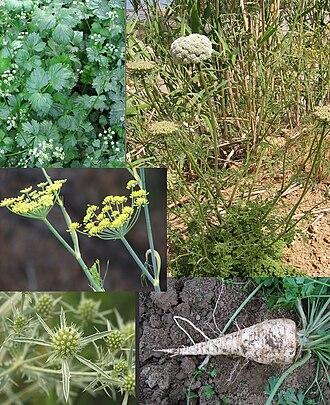 Apiaceae - Apiaceae: Apium leaves and tiny inflorescences, Daucus habit, Foeniculum inflorescences, Eryngium inflorescences, Petroselinum root.