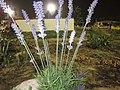 Unidentified Plants - പേരറിയുമോ - 2015-02-21 - 6.jpg