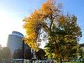 Urban tree in its autumn colors , Дрво со есенски бои на лисјата.JPG