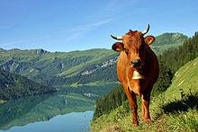 Vache tarine près du lac de Roselend en Beaufortain