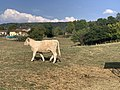 Vache Pré Route Couchant - Coligny (FR01) - 2020-09-15 - 2.jpg