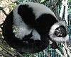 A ruffed lemur