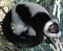 Black-and-white ruffed lemur lying on left side on rope hammock; tail curled towards body; looking up at camera