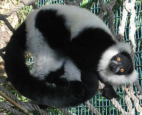Description de l'image  Varecia variegata full body curled up.jpg.