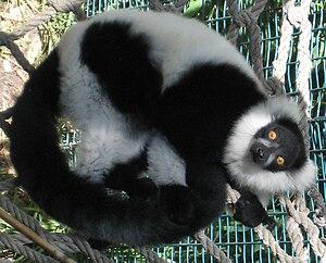 Ruffed lemur - Black-and-white ruffed lemur (Varecia variegata)