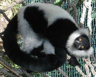 Ruffed lemur - Black-and-white ruffed lemur (Varecia variegata)