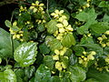 Variegated Yellow Archangel (Lamium galeobdolon) at Chapeltoun.JPG