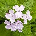 Vaste Judaspenning (Lunaria rediviva) 26-04-2020 (d.j.b.) 01 26-04-2020 (d.j.b.) 01.jpg