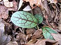 Veined Hawkweed, Rattlesnake Weed Nature Hike Duke Forest Durham NC 0248 (26394900950).jpg