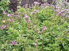 flores comestiveis 220px-Verbena_canadensis3