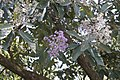 Vernonia arborea4711.jpg