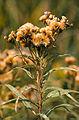 Vernonia fasciculata seed head.jpg