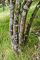 Viburnum sargentii in Hackfalls Arboretum (1).jpg