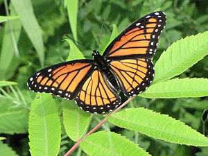 Deception in animals - Viceroy butterfly