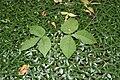 Vinca minor & Arisaema triphyllum SCA-5615.jpg