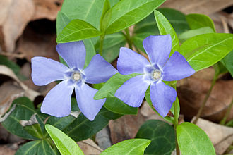Shades of blue - A periwinkle flower