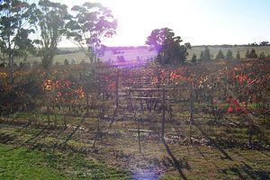 Naracoorte, South Australia - Vineyards surrounding Naracoorte