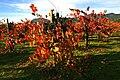Vineyard in Napa Valley 3.jpg
