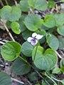 Viola palustris (20190529) 4.jpg