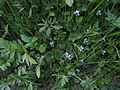 Viola palustris Oulu, Finland 26.05.2013.jpg