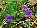 Viola reichenbachiana 001.jpg