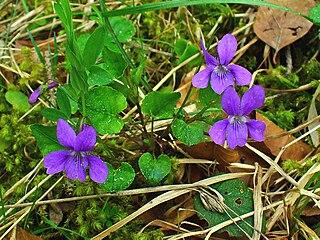 Viola reichenbachiana, Violaceae, Early Dog-violet