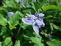 Viola riviniana 2019-04-20 1390.jpg