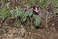 Viola trinervata 7769.JPG