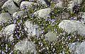 Violet flowers between rocks.jpg