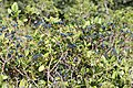 Viorne Tin-Viburnum tinus-Calvisson-20140721.jpg
