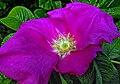 Vresros - (Rosa rugosa).jpg